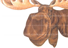 artist of moose art and illustrations